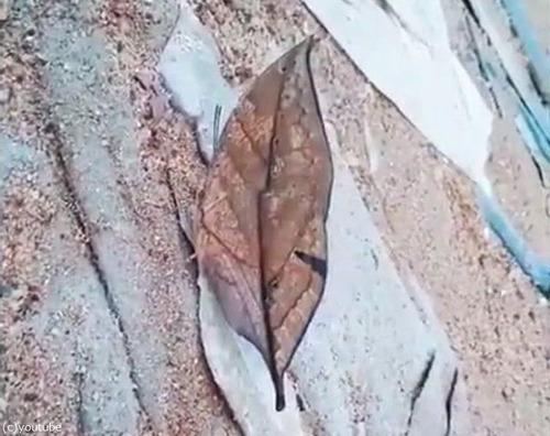 コノハチョウ01