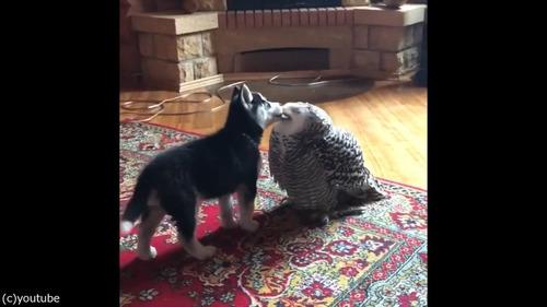 子犬とフクロウの愛情04