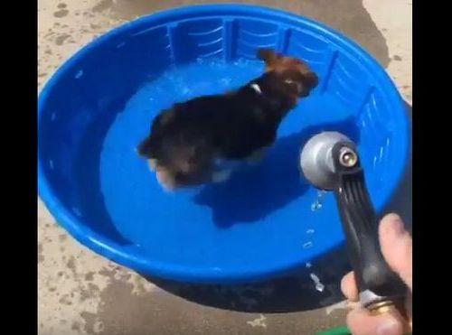 コーギー犬が新しいプールの遊び方02