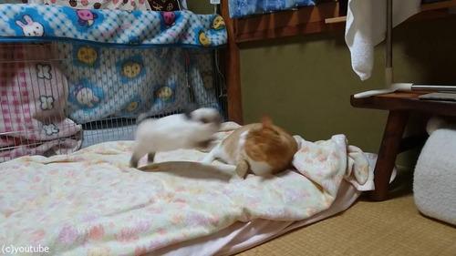 猫に挑むウサギ02