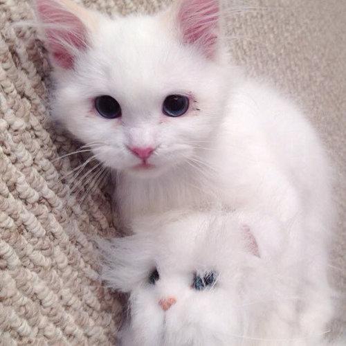 保護した子猫が、すばらしい毛並だった02