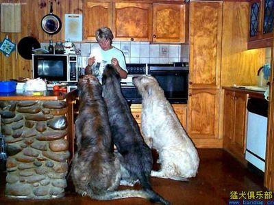 巨大な犬09