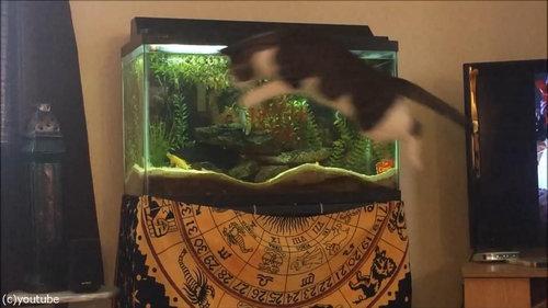 水槽を狙う猫04