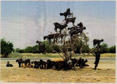 ヤギが木登り、山羊が木に登る01