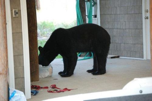 おぼれる熊を素手で助け出す01
