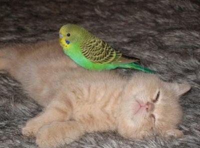 破壊力抜群の猫とインコ画像05
