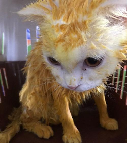 治療のウコンでピカチュウ化した猫05