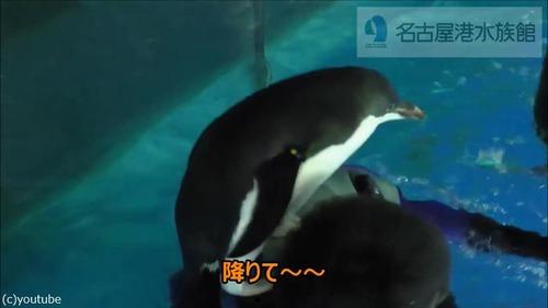 懐きすぎ!飼育員さんにベッタリのペンギン03