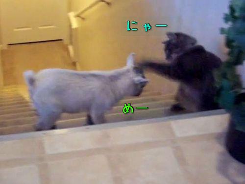猫と子ヤギ00