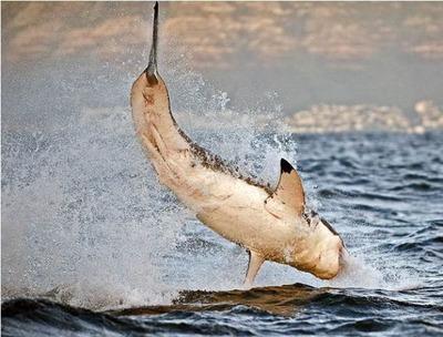 飛び跳ねるサメ02
