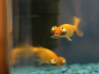 マンガみたいな目をした金魚03