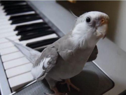 「となりのトトロ」を歌うインコ01