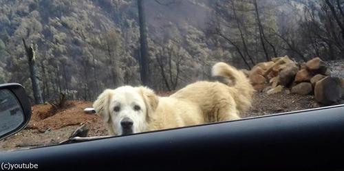 カリフォルニアの山火事を生き残った犬01