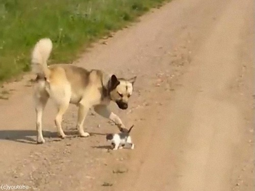 犬の後ろを付いて行く子猫00