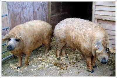 豚と羊の交配種01