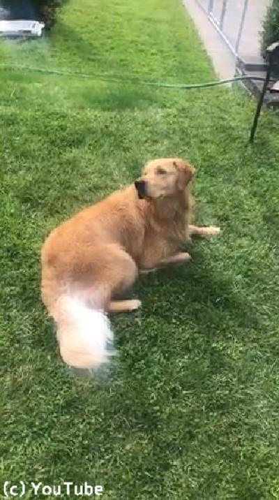 介助犬のトレーニングに励むワンコ01