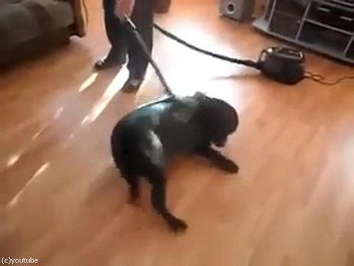 掃除機ラブな犬06