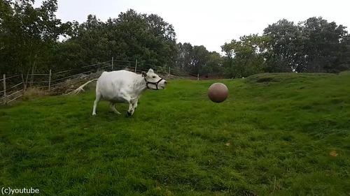 1001牛もボール遊びをするんだなぁ02