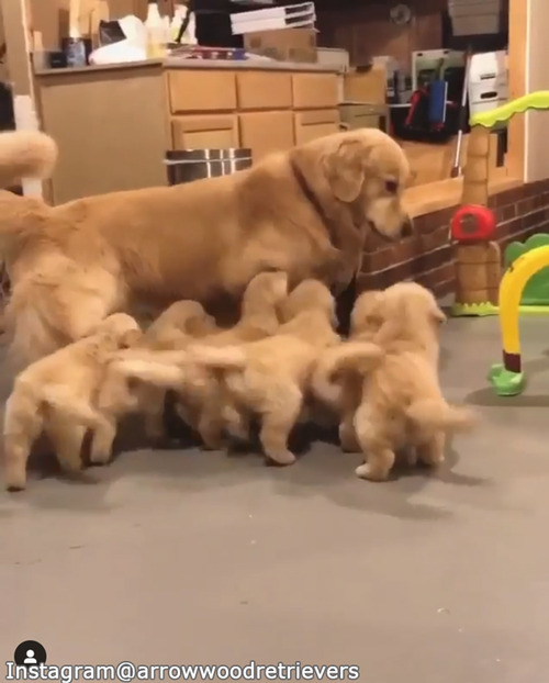 子犬たちのお世話の大変さがよくわかる動画02
