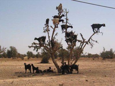 ヤギが木登り、山羊が木に登る02