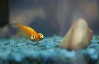 マンガみたいな目をした金魚02