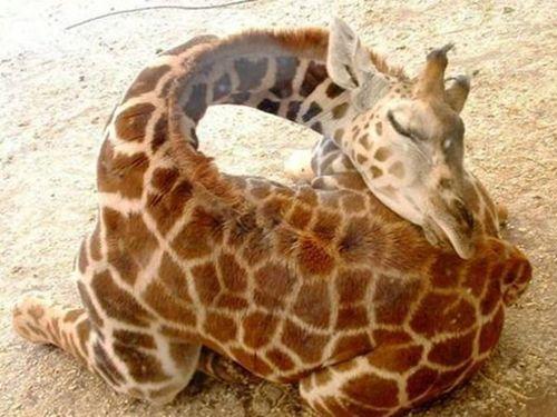 キリンの赤ちゃんの体重の量り方00