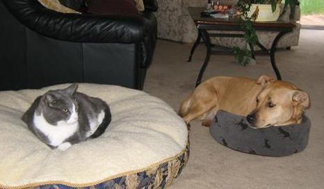 猫にベッドを奪われる犬たち05