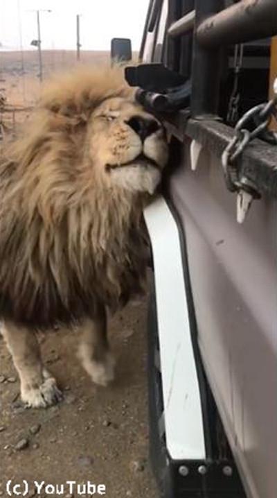 クルマにひたすらスリスリしてくるライオン03