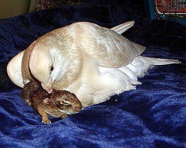 片足のハトがウサギを育てる02