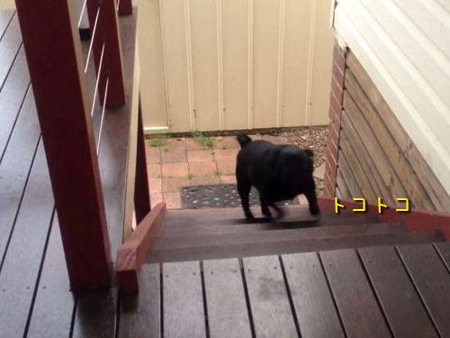 変な階段の上り方の犬