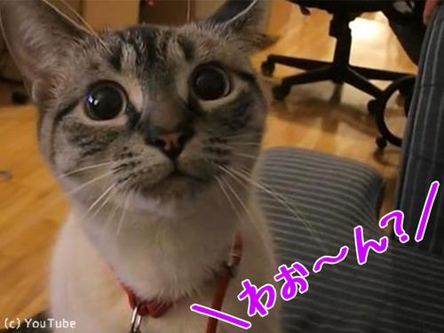 遠吠えを真似する猫さま00