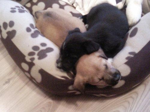 子犬たちが初めて家に来た日28