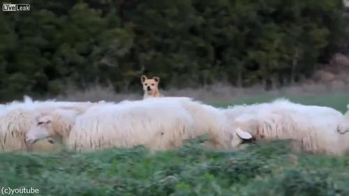 落ち着き過ぎな牧羊犬02
