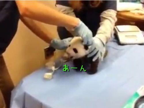 パンダの赤ちゃんの泣き声00