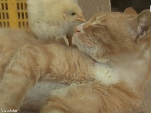ヒヨコを育てる猫の…パパ00
