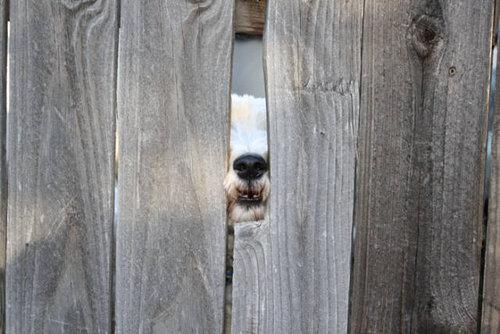 壁越しに会いたがる犬たち15