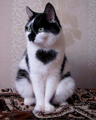 変わった毛並みの猫13