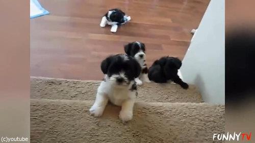階段に苦労する子犬たち05