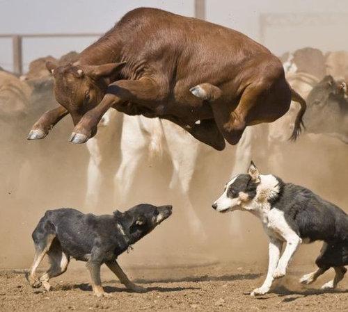 牛のジャンプ力を02