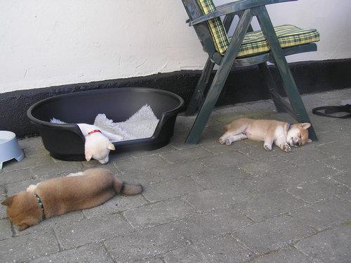 小犬3匹ともダウン01