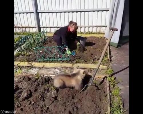 畑仕事を手伝う子グマ01