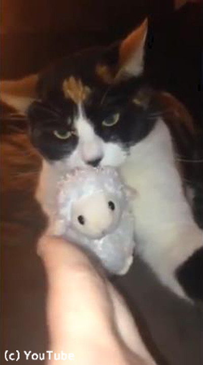 「あげません!」鋭い目つきでぬいぐるみを守る猫様03
