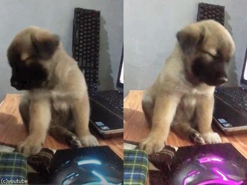 パソコンの横でうとうとする子犬00
