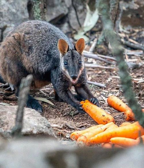 オーストラリア森林火災で動物たちの食料供給03