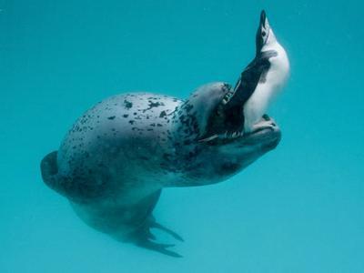 野生のヒョウアザラシと仲良くなりプレゼントされたのは…ペンギン01