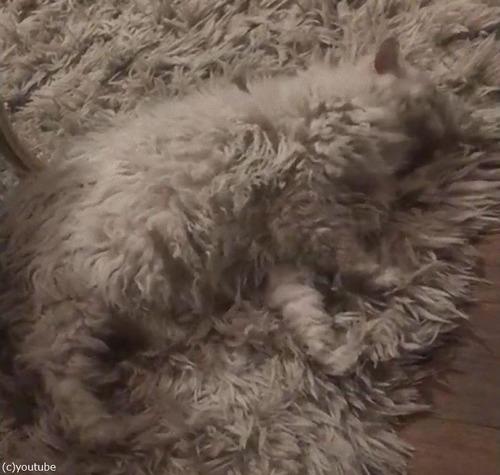 猫の飼い主「うちのラグは一部が動く…」03