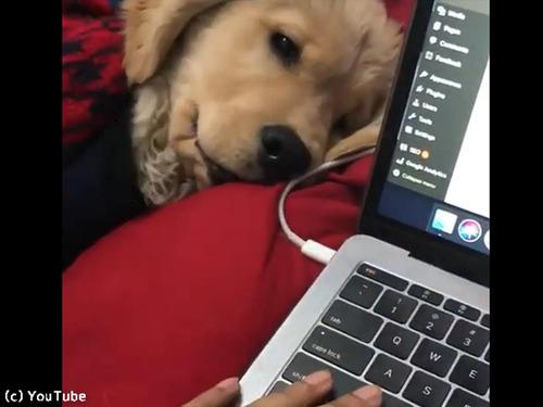 飼い主さんに仕事をさせたくないレトリバーの子犬00