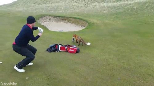 ゴルファーの財布を盗むキツネ04