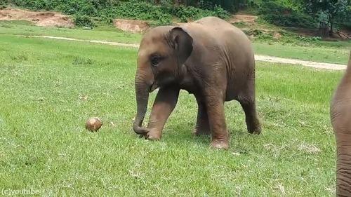 赤ちゃんゾウはサッカーに夢中01