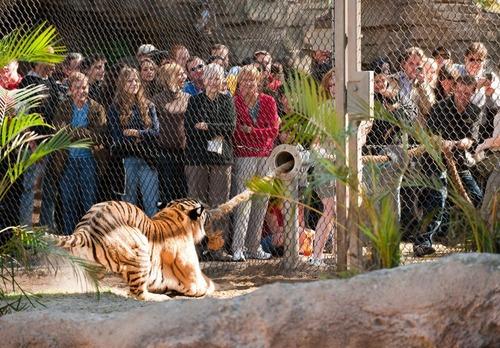 虎と綱引き01